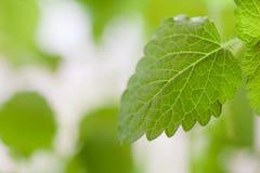 Frisches grünes Blatt von Melisse über Weiß Lizenzfreies Stockbild