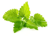 Frisches grünes Blatt von Melisse stockfoto