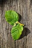 Frisches grünes Blatt zwei von einer Baumhaselnuß Stockfotografie
