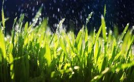 frisches grünes Gras macht seine Weise im Garten unter den warmen Tropfen des Verschüttens des Wassers an einem sonnigen Tag lizenzfreies stockfoto