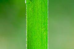 Frisches grünes Gras mit Tautropfen schließen morgens oben Feld des grünen Grases gegen einen blauen Himmel mit wispy weißen Wolk Lizenzfreies Stockfoto
