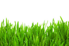Frisches grünes Gras mit Tropfen befeuchten/lokalisiert auf Weiß Stockfotografie