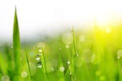 Frisches grünes Gras mit Wasser lässt Nahaufnahme fallen Stockfotografie