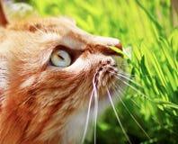 Frisches grünes Gras und flaumiges Ingwerkätzchen Stockfotografie