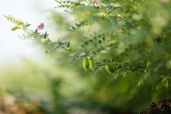 Frisches grünes Kichererbsenfeld, Kichererbsen alias harbara oder harbhara in Hindi und im Cicer ist wissenschaftlicher Name, lizenzfreie stockbilder