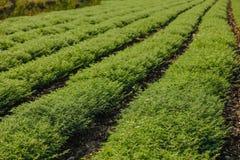 Frisches grünes Kichererbsenfeld, Kichererbsen alias harbara oder harbhara in Hindi und im Cicer ist wissenschaftlicher Name, stockfoto