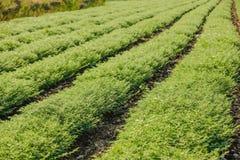 Frisches grünes Kichererbsenfeld, Kichererbsen alias harbara oder harbhara in Hindi und im Cicer ist wissenschaftlicher Name, lizenzfreie stockfotos