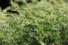 Frisches grünes Kichererbsenfeld, Kichererbsen alias harbara oder harbhara in Hindi und im Cicer ist wissenschaftlicher Name, lizenzfreie stockfotografie