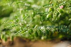 Frisches grünes Kichererbsenfeld, Kichererbsen alias harbara oder harbhara in Hindi und im Cicer ist wissenschaftlicher Name, stockbild