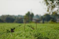 Frisches grünes Kichererbsenfeld, Kichererbsen alias harbara oder harbhara in Hindi und im Cicer ist wissenschaftlicher Name, stockbilder