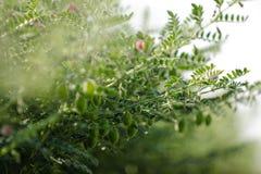 Frisches grünes Kichererbsenfeld, Kichererbsen alias harbara oder harbhara in Hindi und im Cicer ist wissenschaftlicher Name, lizenzfreies stockfoto