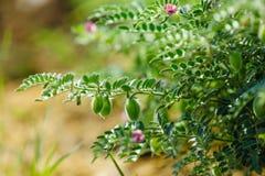 Frisches grünes Kichererbsenfeld, Kichererbsen alias harbara oder harbhara in Hindi und im Cicer ist wissenschaftlicher Name, lizenzfreies stockbild