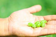 Frisches grünes Kichererbsenfeld, Kichererbsen alias harbara oder harbhara in Hindi und im Cicer ist wissenschaftlicher Name, in  lizenzfreie stockfotos