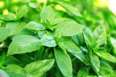 Frisches grünes Oregano im Garten im Sommer lizenzfreie stockbilder