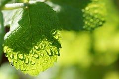 Frisches grünes tadelloses Blatt auf Betriebsdetail mit Tautropfen des Sonnenscheins Lizenzfreie Stockfotos