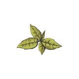 Frisches grünes Teeblatt auf weißem Hintergrund Frisches grünes Teeblatt auf weißem Hintergrund Lizenzfreies Stockbild