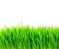Frisches grünes Weizengras lokalisiert Lizenzfreie Stockfotografie