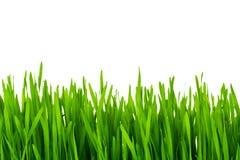 Frisches grünes Weizengras lokalisiert Lizenzfreies Stockbild
