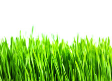 Frisches grünes Weizengras lokalisiert Lizenzfreie Stockfotos