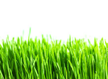 Frisches grünes Weizengras lokalisiert Stockbild