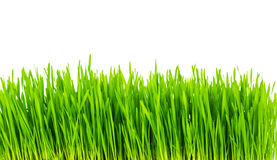 Frisches grünes Weizengras lokalisiert Stockbilder