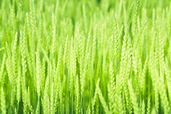 Frisches Gras auf dem Morgengebiet für Hintergrund Stockbild