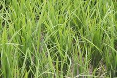 Frisches Gras auf dem Reisfeld Lizenzfreie Stockfotografie