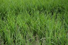 Frisches Gras auf dem Reisfeld Stockbild