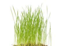 Frisches Gras Stockbilder