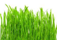 Frisches Gras mit Tautropfen Lizenzfreie Stockfotos