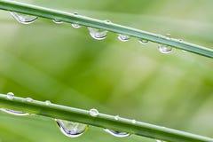 Frisches Gras mit Tautropfen Stockfoto