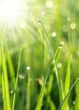 Frisches Gras mit Tautropfen schließen oben Stockfoto