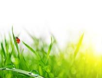 Frisches grünes Gras mit Tautropfen und Marienkäfer Stockfoto