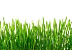 Frisches grünes Gras mit Wassertropfen lokalisiert auf weißem Hintergrund Stockfoto