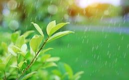 Frisches junges grünes Wipfelblatt auf unscharfem Hintergrund im Sommergarten mit dem Regnen und den Strahlen des Sonnenlichts Na stockfotografie