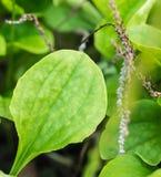 Frisches Kraut der Nahaufnahme nannte allgemeine Banane (Plantago bedeutendes L etwas körniges) Lizenzfreie Stockbilder