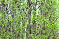Frisches Laub auf den Niederlassungen von Bäumen Stockfotografie