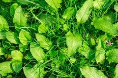 Frisches ?ppiges gr?nes Gras in der Wiese, Naturhintergrund stockbild