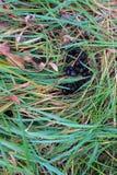 Frisches Rotwild poo versteckt im Gras des langen Feldes stockfotografie