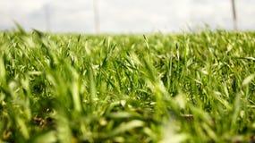 Frisches Weizengras Stockbild