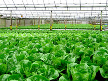 Frischgemüse am Wasserkulturbauernhof Lizenzfreie Stockbilder