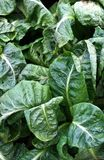 Frischmarkt-Spinat Stockfoto