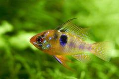 Frischwasseraquariumfische auf einem grünen Hintergrund Stockbilder