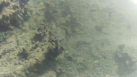 Frischwassercichlids in Utah-Thermalquelle stock video footage
