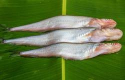 Frischwasserfische Lizenzfreie Stockfotos