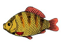 Frischwasserfische Crucian Stockfoto
