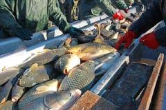 Frischwasserfischsortieren Stockfotos