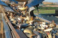Frischwasserfischsortieren Stockfoto