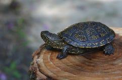 Frischwasserschildkröte 2 Lizenzfreie Stockfotos