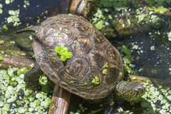 Schildkröte, die sich im Sonnenlicht auf einem Seeufer aalt stockfoto